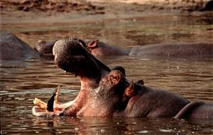 hipopotamo - tanzania